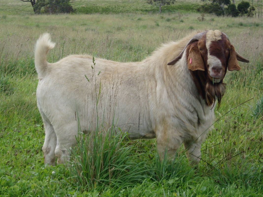 Boer Goats For Sale - Boer goats - Information, husbandry ... - photo#27