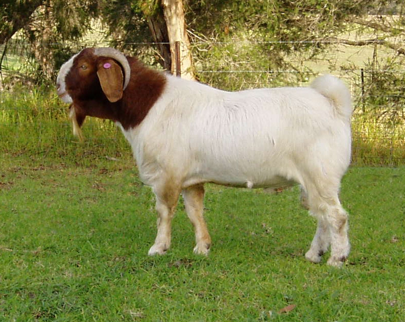 Boer Goats For Sale - Boer goats - Information, Boer goat ... - photo#1