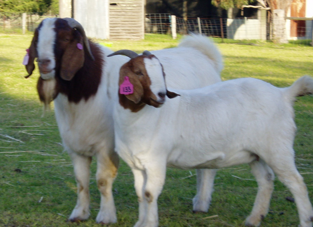 Recent Stud activities - Boer goats - Information, Boer ... - photo#14