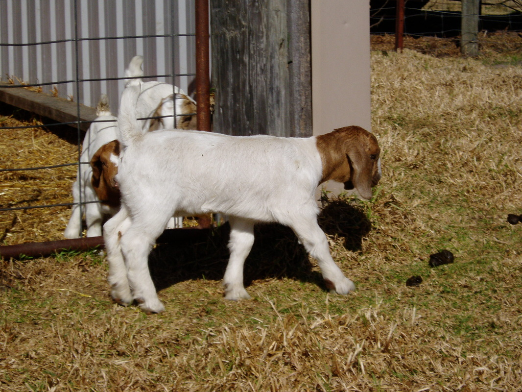 Recent Stud activities - Boer goats - Information, Boer ... - photo#41