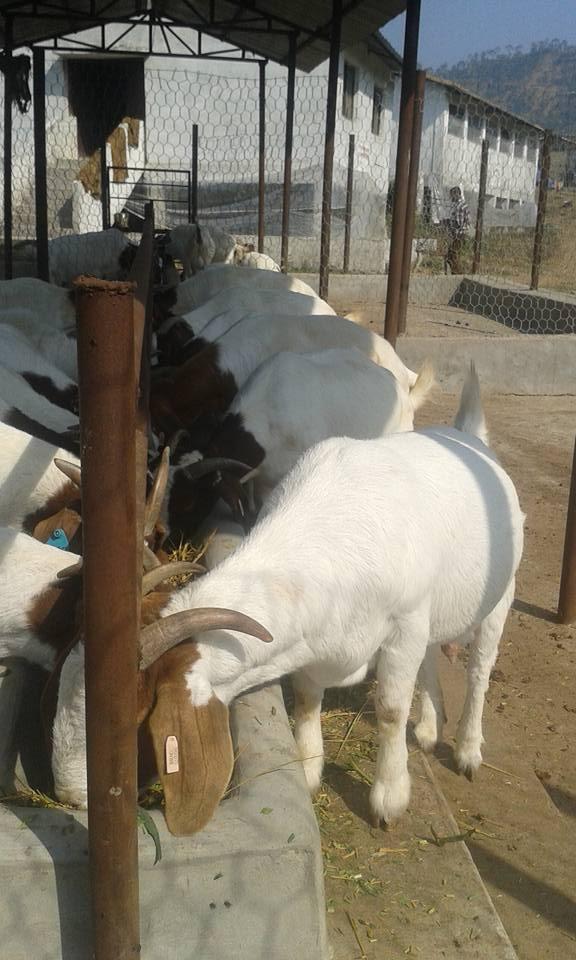 Boer goats - Information, Boer goat exports to Nepal