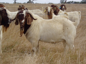 Boer Goats For Sale - Boer goats - Information, Boer goat ... - photo#22