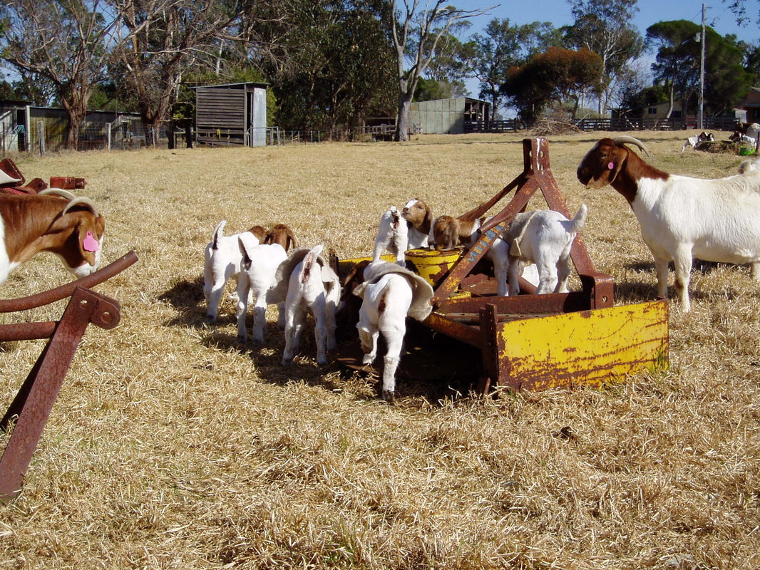 """Goat keeper's diary"" 2012 entries - Boer goats ... - photo#34"
