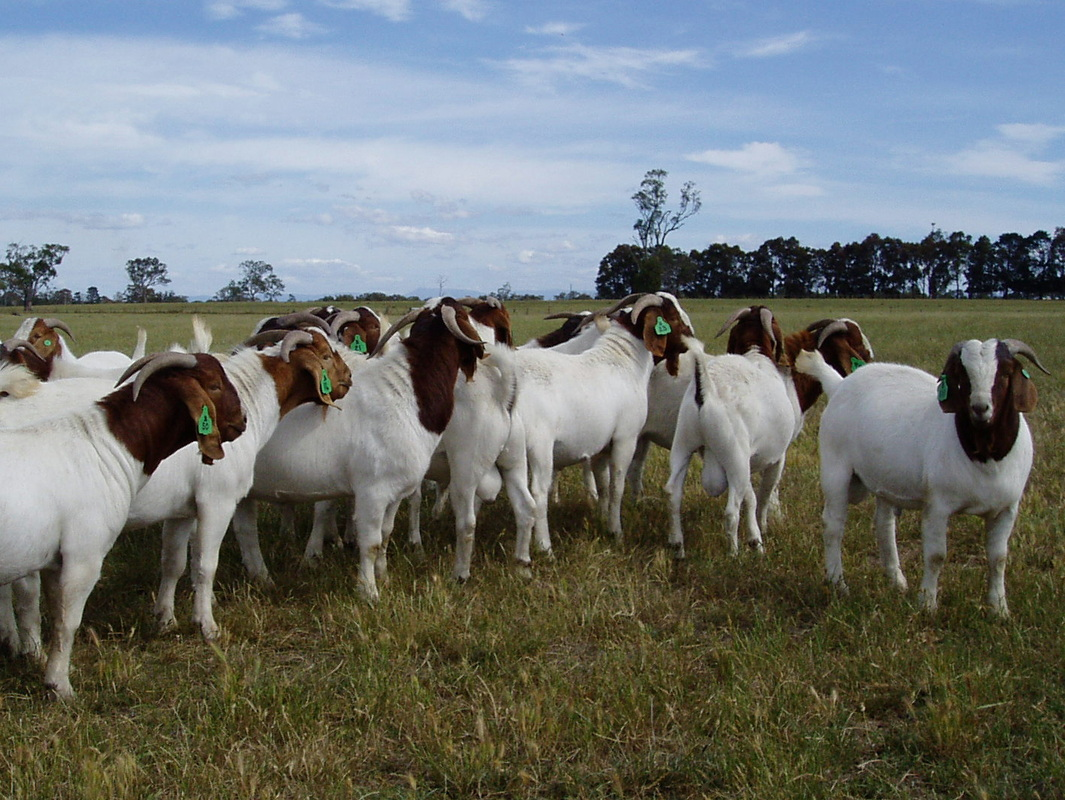 Welcome to PairADoc Boer Goats and the Texas Hill