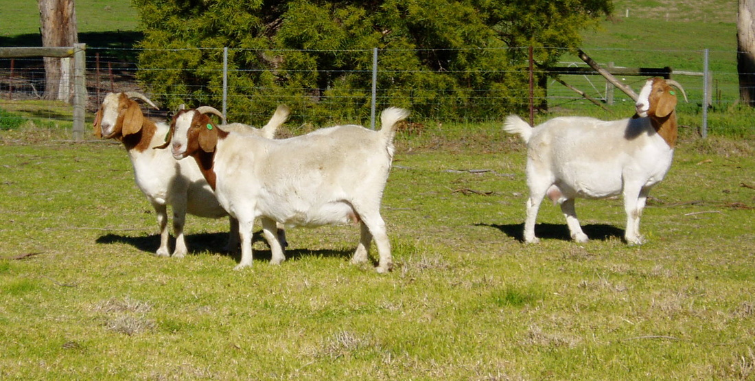 """Goat keepers diary"" 2013 entries - Boer goats ... - photo#48"
