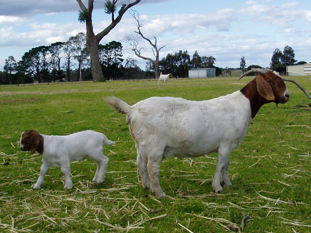 Information and husbandry - Boer goats - Information, Boer ... - photo#17